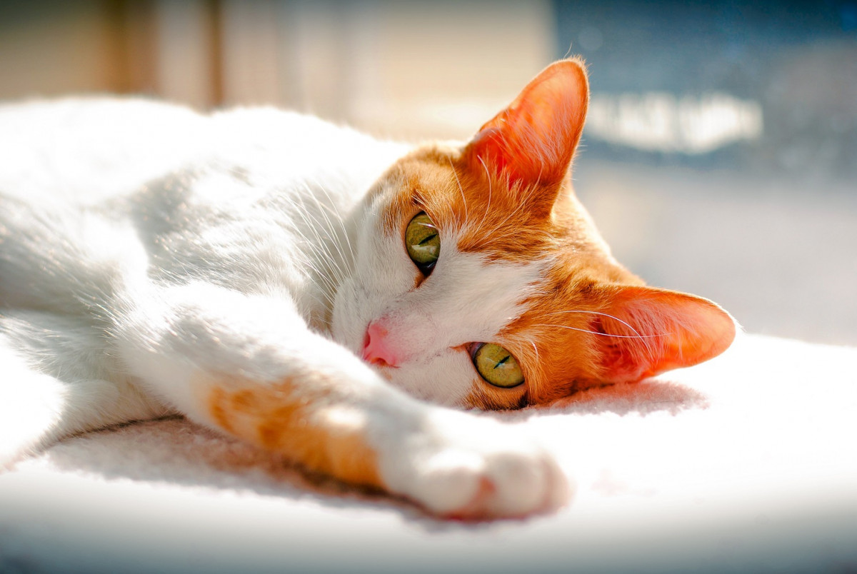 Orange and white Japanese Bobtail cat