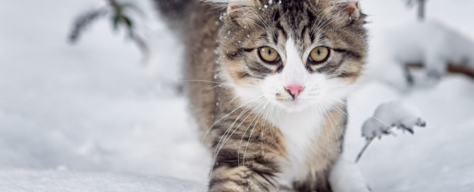 A beautiful cat Norwegian Forest Cat in the winter snow.