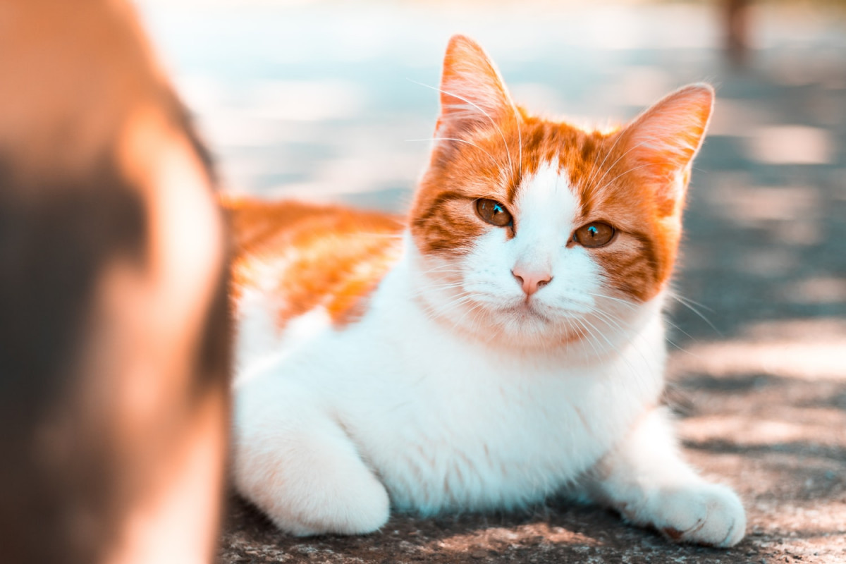 White and orange cat