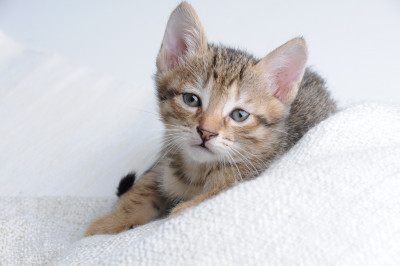 feline genetics Abyssinian kitten cat