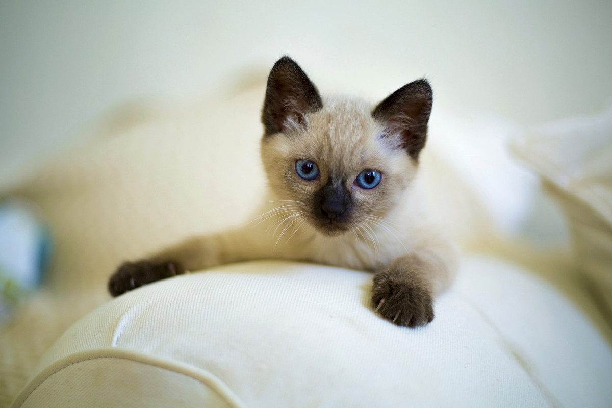 Siamese kitten with blue eyes laying on a white couch