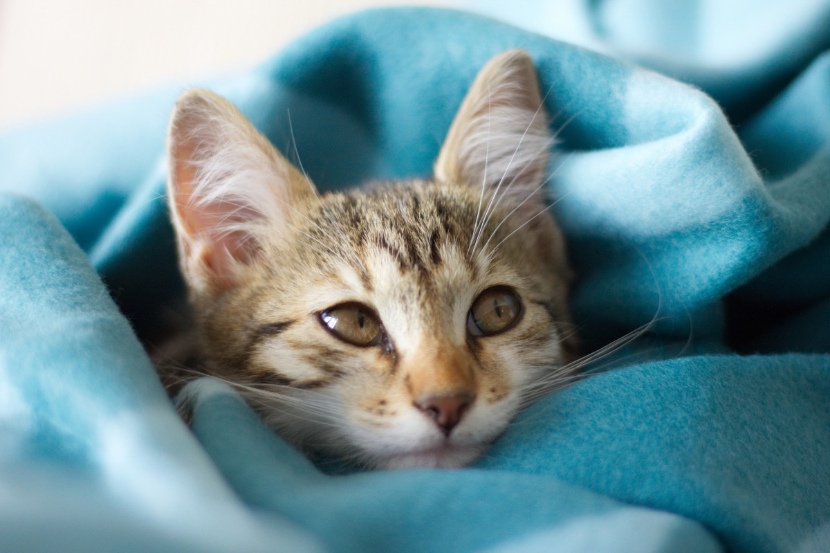 Brown tabby kitten laying wrapped in a blue blanket