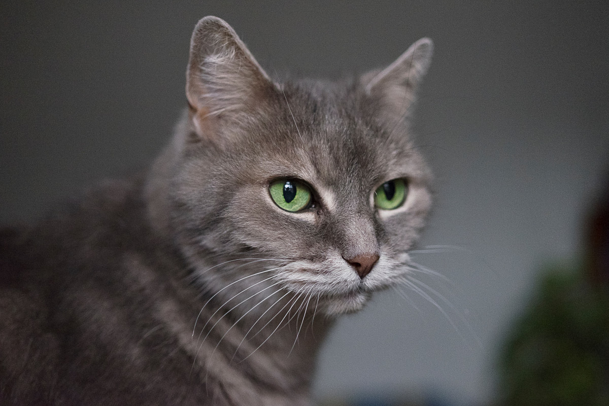 A gray cat with green eyes