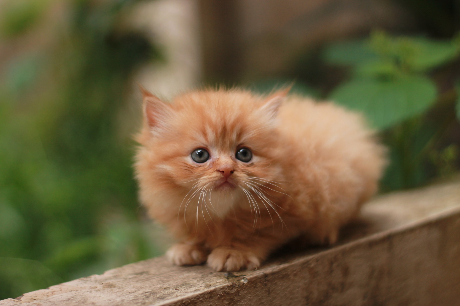 Orange tabby Persian kitten with blue eyes in article about cat headaches