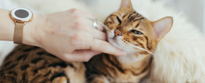 Free cat DNA tests bengal cat being pet