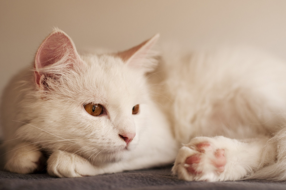 A white cat with brown eyes