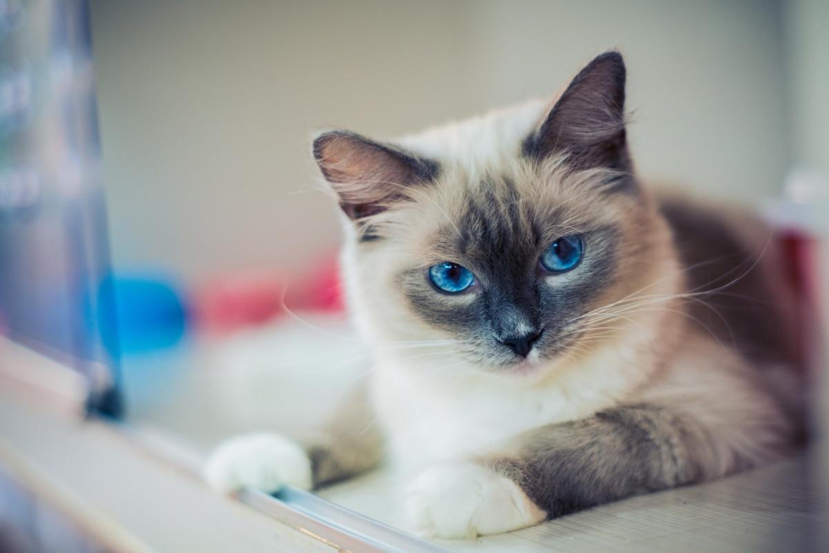 A color-pointed cat with blue eyes