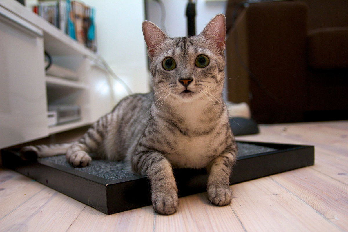 Beautiful silver tabby egyptian mau with green eyes