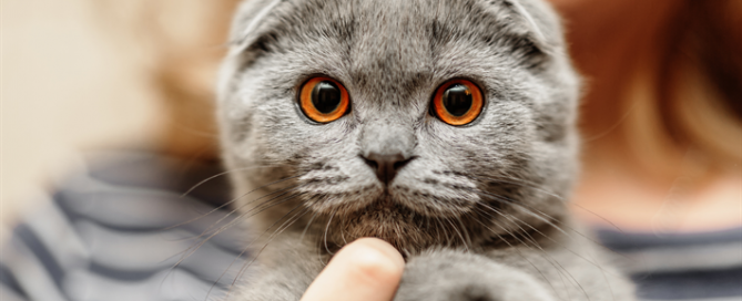 A gray Scottish Fold cat with folded ears and amber eyes