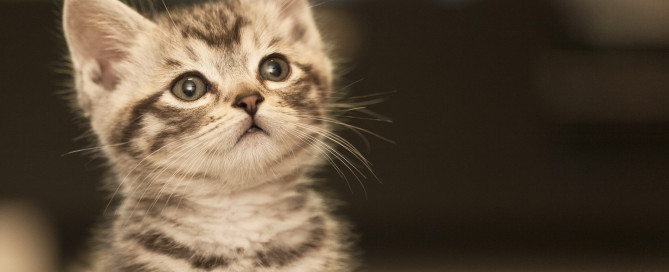 A young gray tabby kitten
