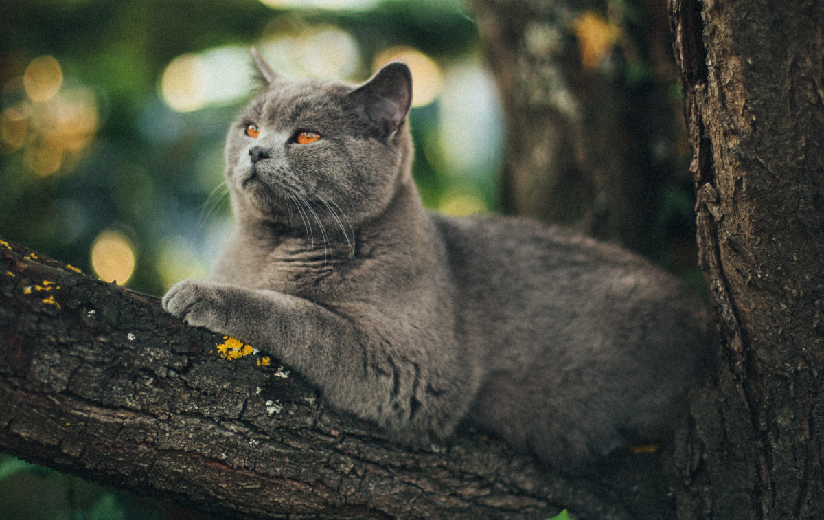 A British shorthair with Amber eyes