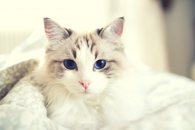 A white and tabby cat with blue eyes