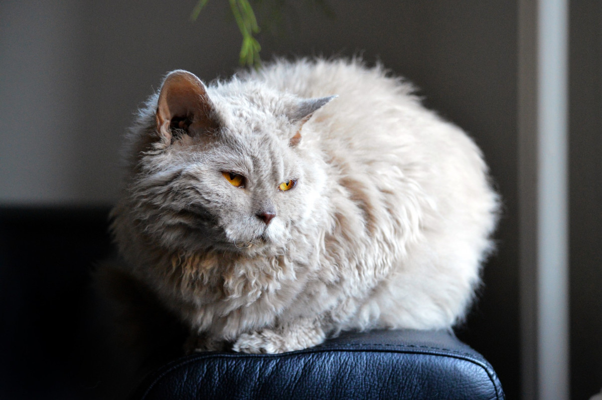 A curly gray cat with yellow eyes