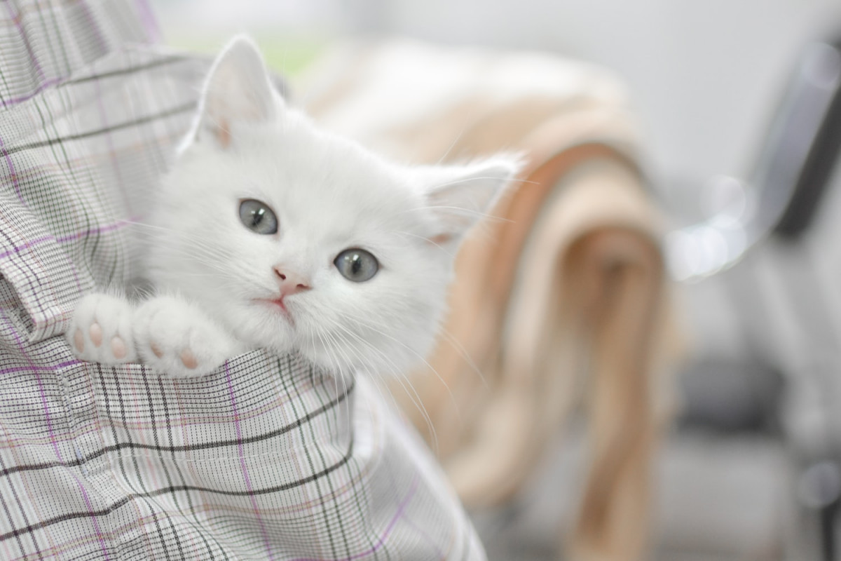 Cute white kitten with green eyes in a pocket