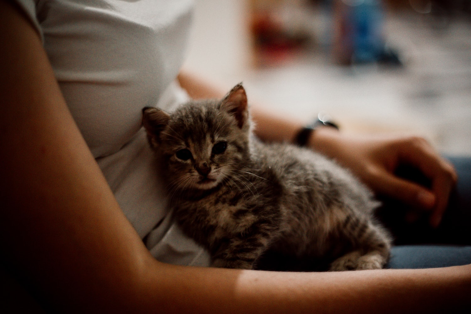 Small tabby kitten in a woman's lap