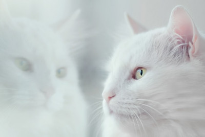 White cat with yellow eyes looking through the window