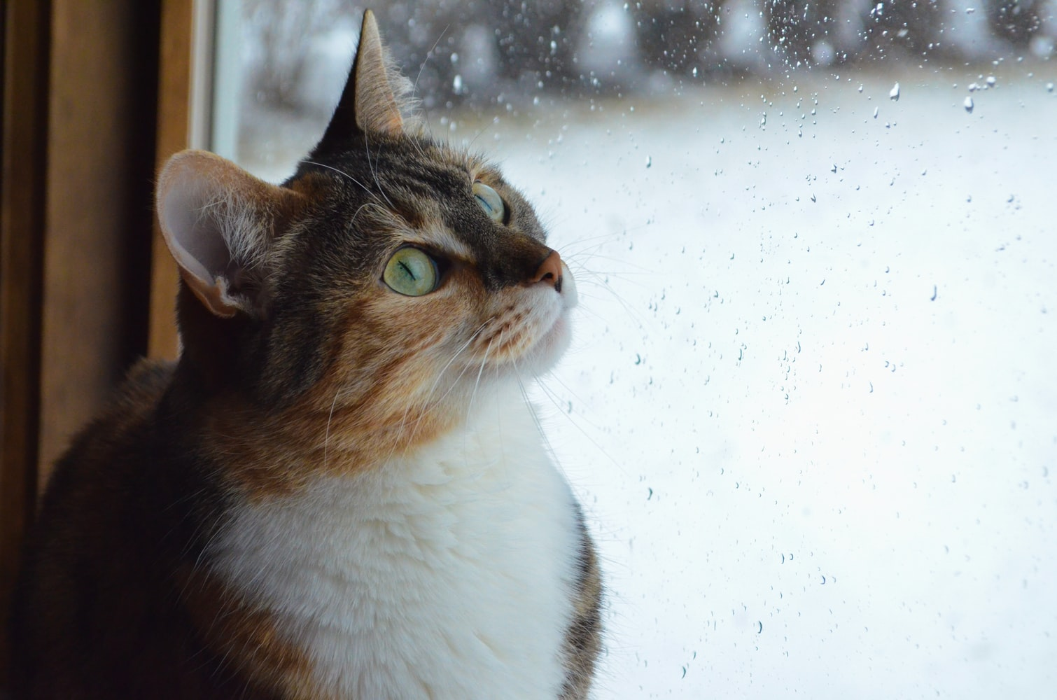 calico cat with green eyes look at rain