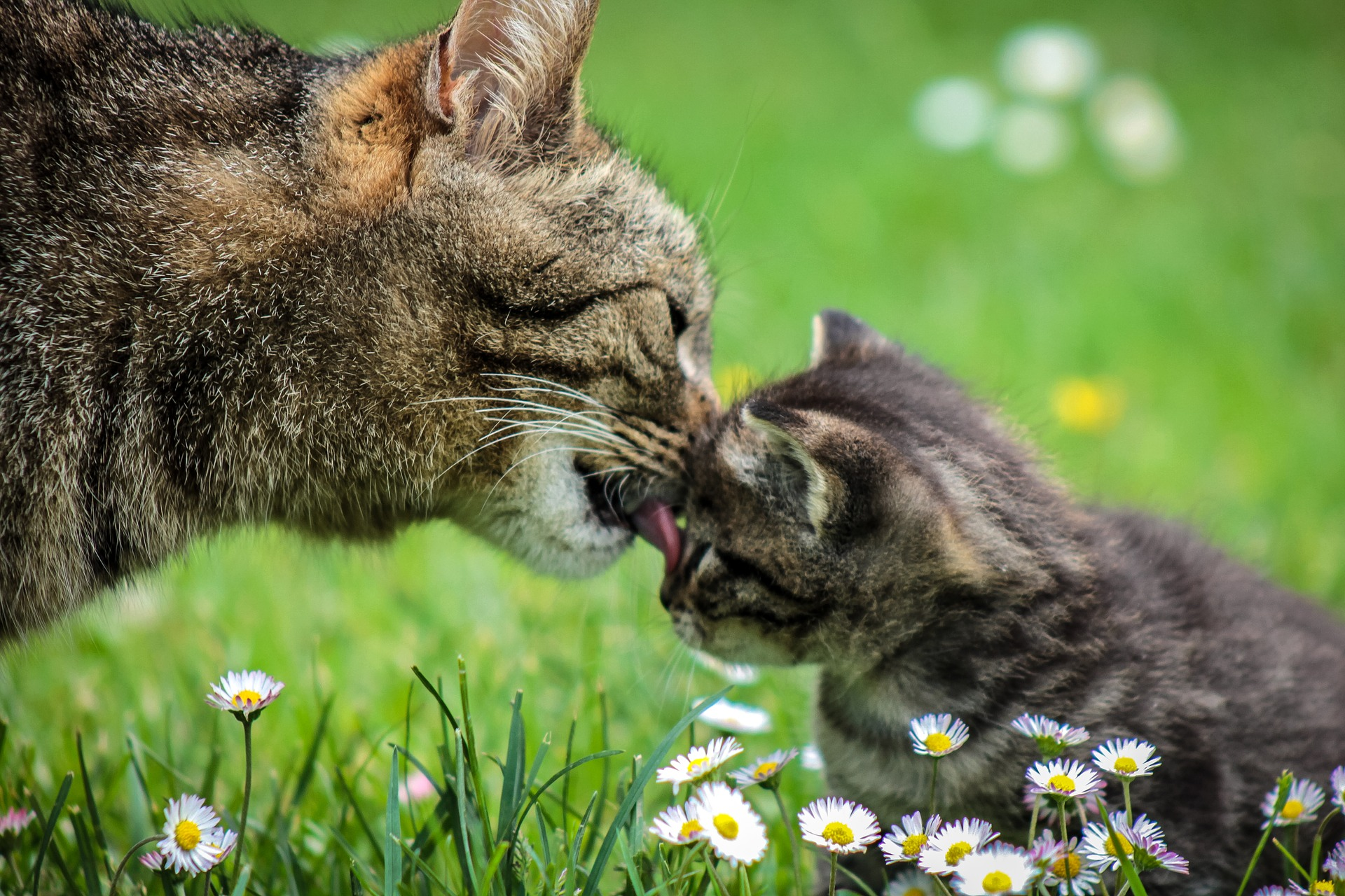 mom cat licking a kitten in grass