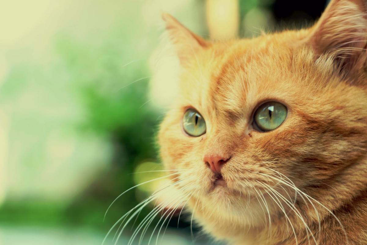beautiful orange tabby cat with green eyes and green background