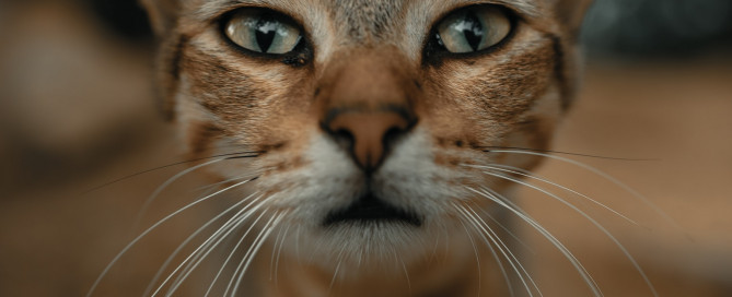Cystinuria in cats