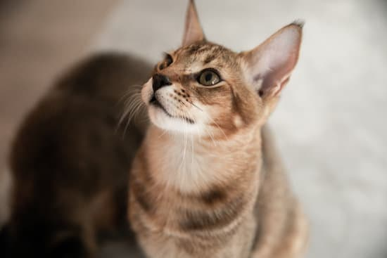 Chausie cat, a rare and wild cat, looking up