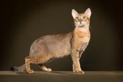 the chausie cat breed