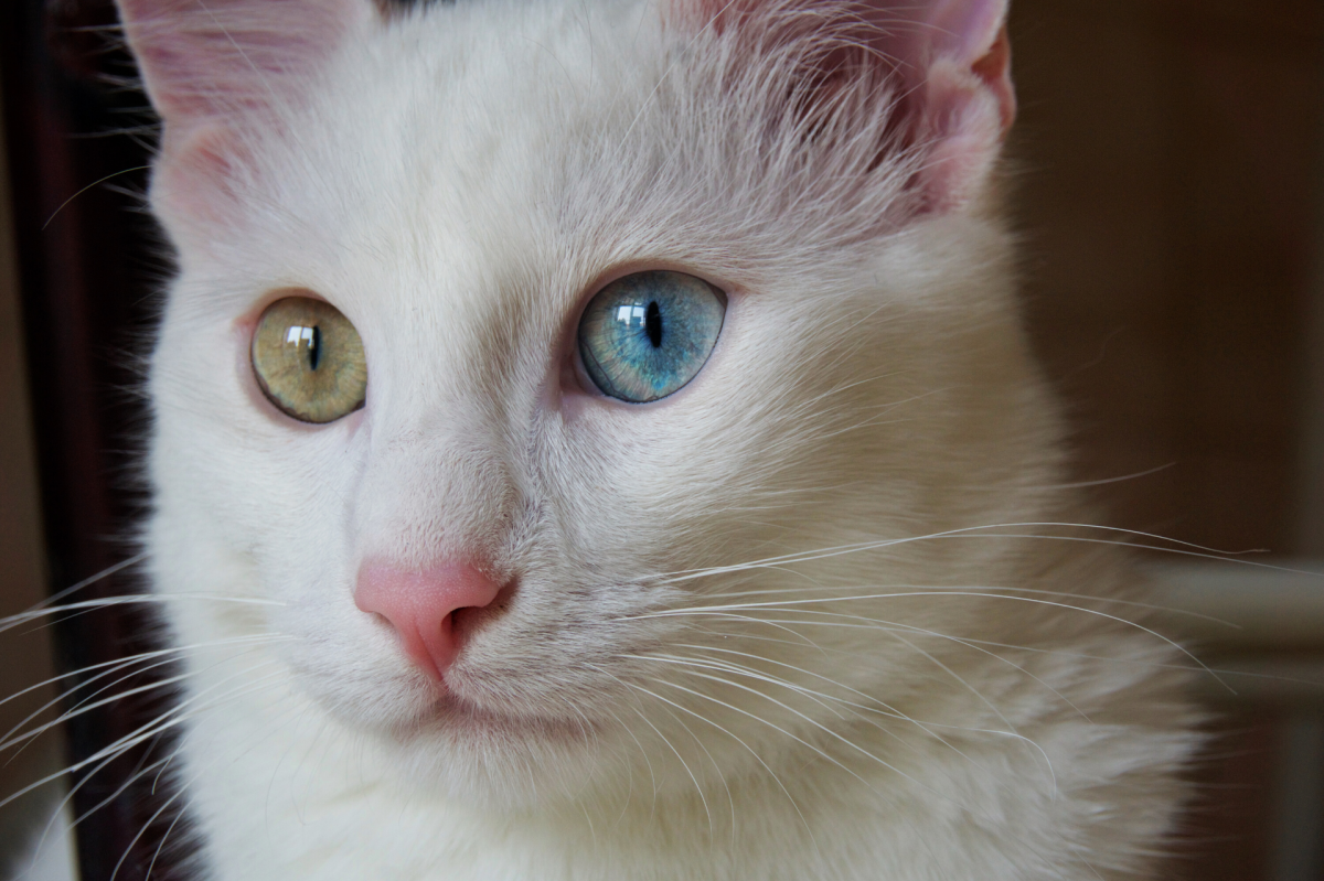 Odd eyed Turkish Angora