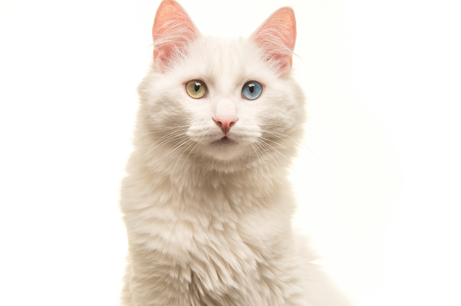 Stunning odd-eyed white Turkish Angora