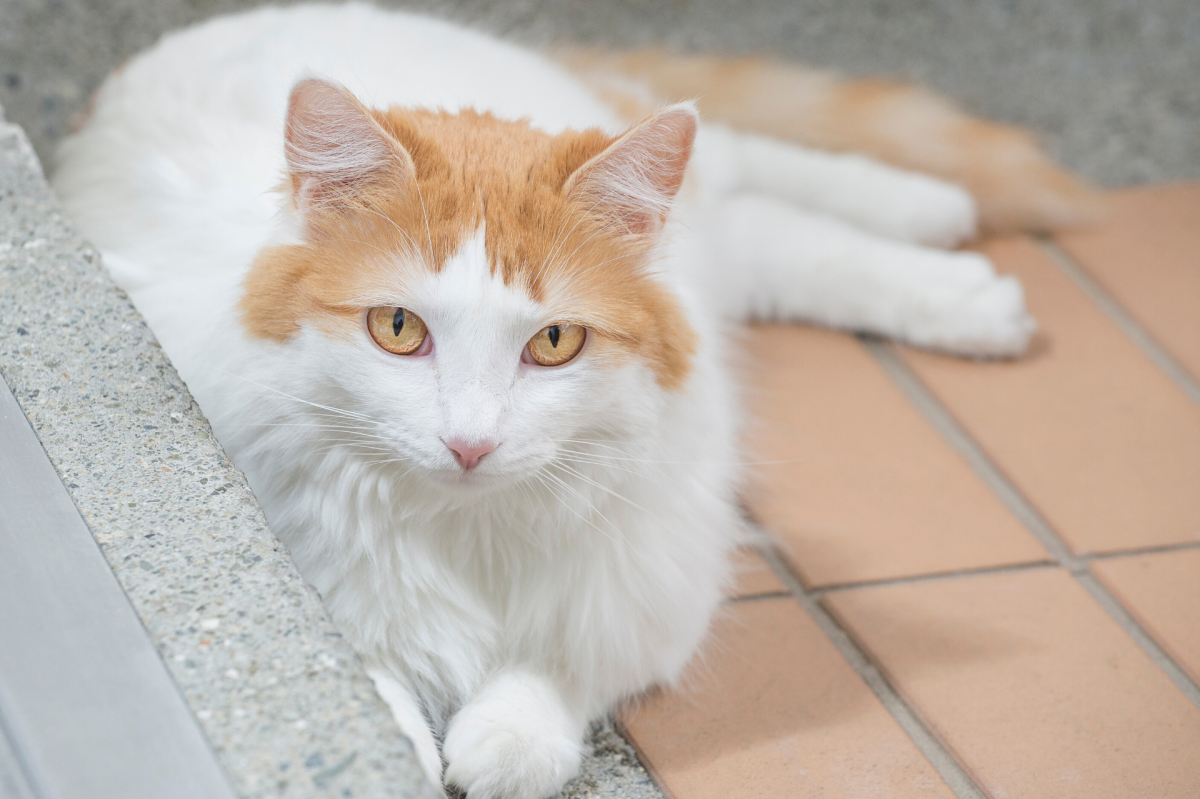 Turkish Van laying on sidewalk