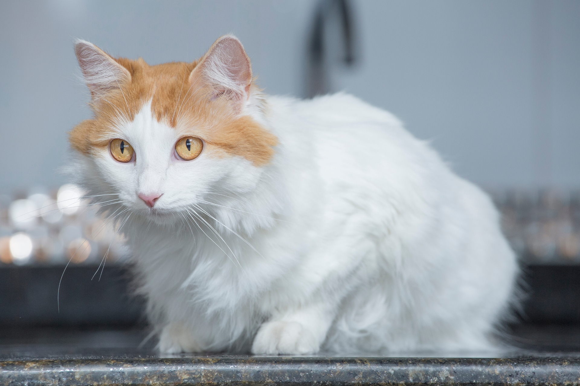 A Turkish Van ready to pounce