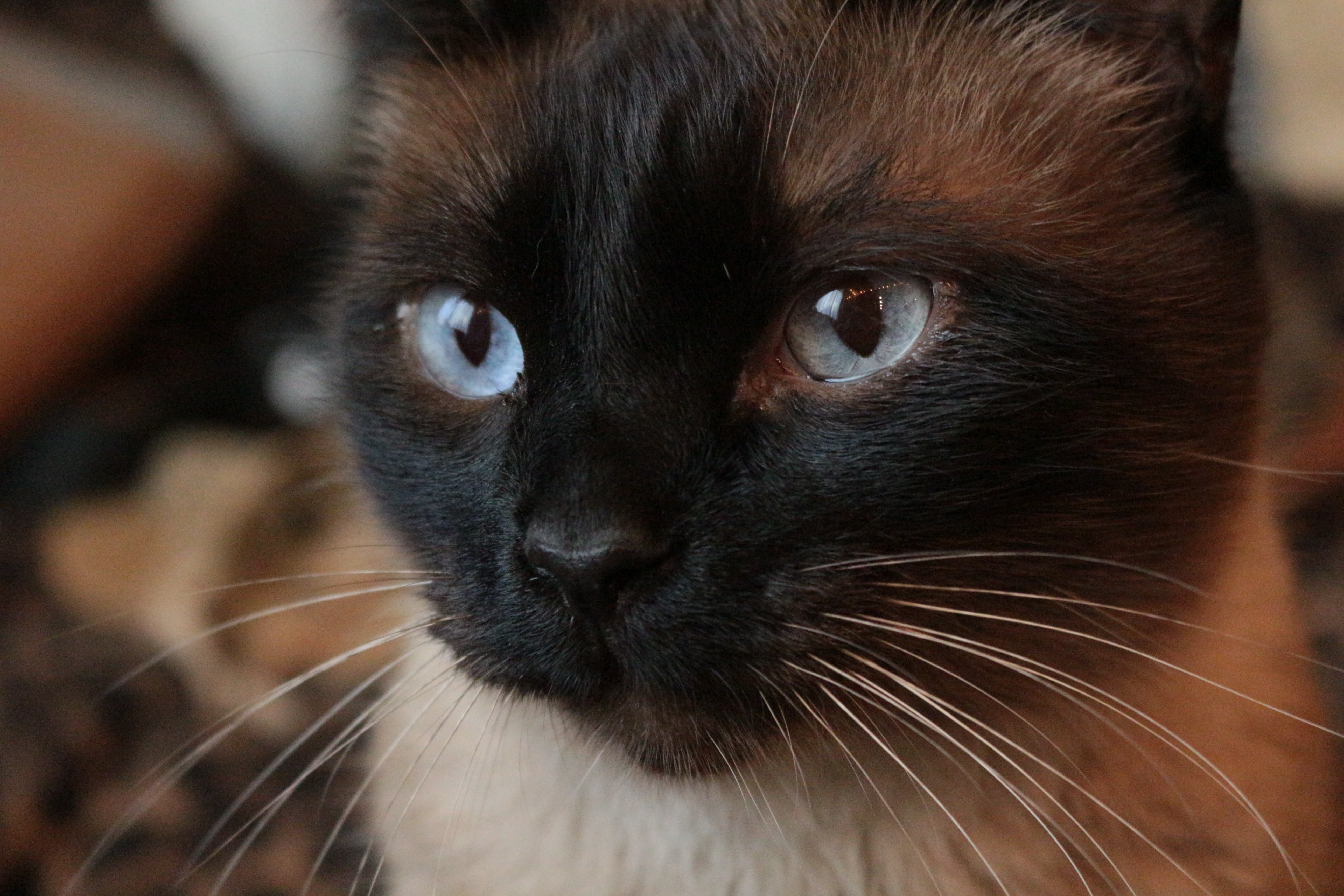 A Traditional Siamese cat looking in the distance