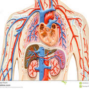 MS1 - Cardiovascular, Pulmonary, and Renal