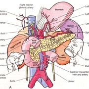 LSS 2 - Abdomen, Alimentary and Urinary systems