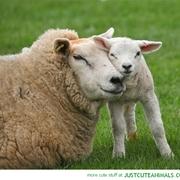 Sheep Medicine