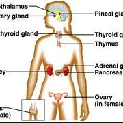 ESC - Endocrine System