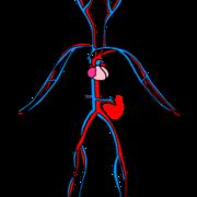 ESA2 Cardiovascular System Evita
