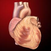 Fiziologie: Cardiovascular