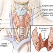 Thyroïde et parathyroïde