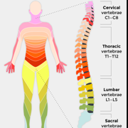 Spinal c.