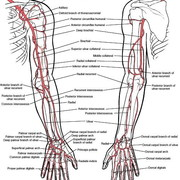 LCRS Y2: Anatomy of the limbs
