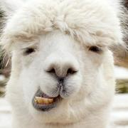Iphone 3x retina alpaca blog hero image 600x