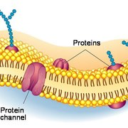 Biology OCR (5, plasma membranes)