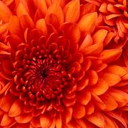 Iphone 3x retina chrysanthemum