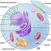UE 2 : La cellule et les tissus