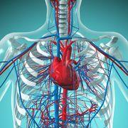 Cardiovascular Sytem