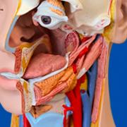 Otorhinolaryngology