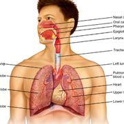 BNF: Respiratory System