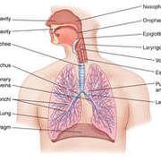 Physiology 1 : respiratory