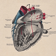 ANATOMY - Cardio & Resp