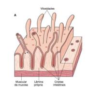 Histologia - Digestório